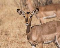 Impala Ewe. Portrait of an Impala ewe in Namibian savanna Stock Images