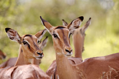 Impala Ewes Royalty Free Stock Photos
