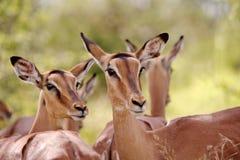 Impala Ewes royalty free stock photos