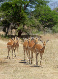 Impala Ewes. (Aepyceros melampus) in the Kruger National Park, South Africa Stock Photos