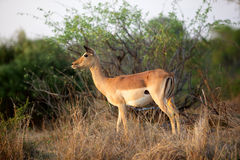 Impala Ewes. An impala ewe (Aepyceros melampus) in the Kruger National Park, South Africa stock images