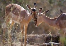 Impala Ewes. Two Impala ewes showing affection Royalty Free Stock Images
