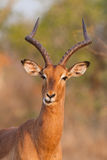 Impala expression Royalty Free Stock Photos