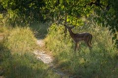 Impala fêmea pela trilha na luz solar dappled Fotos de Stock Royalty Free