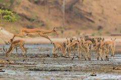 Impala fêmea que salta através da lama imagens de stock