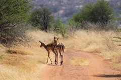 Impala in Faan Meintjies. Stock Image