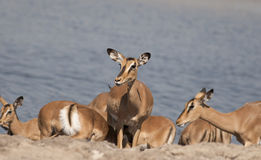 Impala fait face noir femelle photos stock