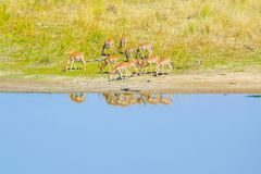 Impala family grazing near the river Letaba Kruger Stock Photos