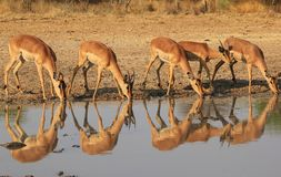 Impala - Family Portrait and Reflection Royalty Free Stock Photography