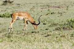 A Impala feeding grass Stock Photo