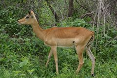 Impala female in the bush Stock Photography