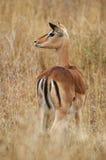 Impala female Stock Photo