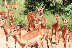 Impala Female's Stock Photos