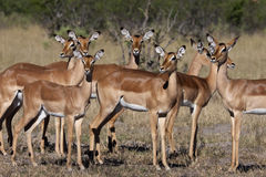 Impala femenino - Botswana Imagen de archivo