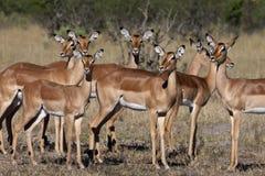 Impala femminile - Botswana Immagine Stock