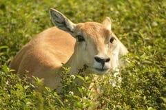 Impala femminile che risiede nell'erba Fotografia Stock Libera da Diritti