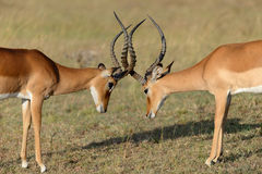 Impala fight on savanna in Africa, Kenya Stock Images