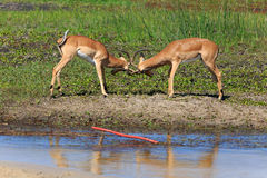 Impala. Fighting impalas at the boteti river Stock Image