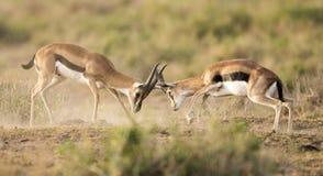 impala fighting Royalty Free Stock Photos