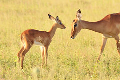 Impala - fondo de la fauna - mi madre hermosa Imagenes de archivo