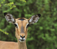 Impala Głowa Zdjęcia Royalty Free