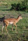 Impala gazeli Maasai Mara Krajowa rezerwa Kenja Afryka Zdjęcie Royalty Free