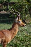Impala gazeli Maasai Mara Krajowa rezerwa Kenja Afryka Fotografia Royalty Free