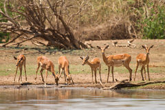 Impala gazelle. Drinking,safari Lower Zambezi, Zambia royalty free stock image