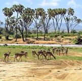 Impala gazelle Stock Image