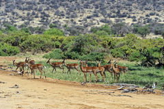 Impala gazelle Royalty Free Stock Photography