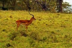 Impala gazelle royalty free stock photo