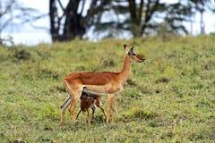 Impala gazelle Royalty Free Stock Image