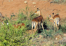 Impala gazelle Royalty Free Stock Photo