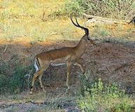 Impala gazelle Royalty Free Stock Photos