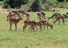 Impala gazelle Stock Photos