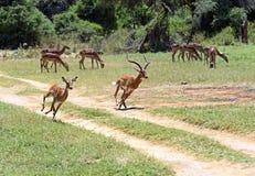 Impala gazelle Stock Photography