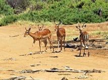 Impala gazelle Stock Photo