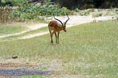 Impala gazelle Stock Images