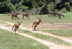 Impala gazelle Stock Images