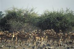 Impala gazelles, Botswana. Stock Photo