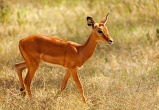 Impala with glossy coat walking in arid savannah Royalty Free Stock Images