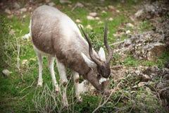 Impala grazing Royalty Free Stock Image