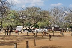 Impala grazing in a campground in Pilanesberg Naitonal Park Royalty Free Stock Image