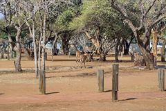 Impala grazing in a campground in Pilanesberg Naitonal Park Stock Photography