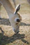 Impala grazing Royalty Free Stock Photography