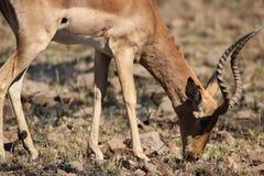Impala. Grazing Pilanesberg nature reserve South Africa Royalty Free Stock Photo