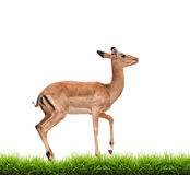 Impala with green grass isolated Stock Photography