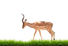 Impala with green grass isolated. On white background Stock Photos