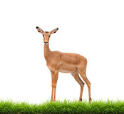 Impala with green grass isolated Royalty Free Stock Image