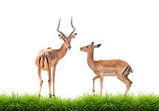 Impala with green grass isolated Stock Image